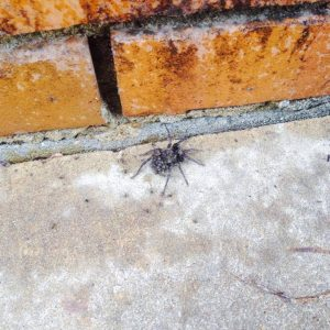 wolf spider pied piper pest